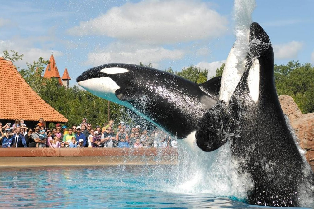 Marineland killer whales swimming in the water